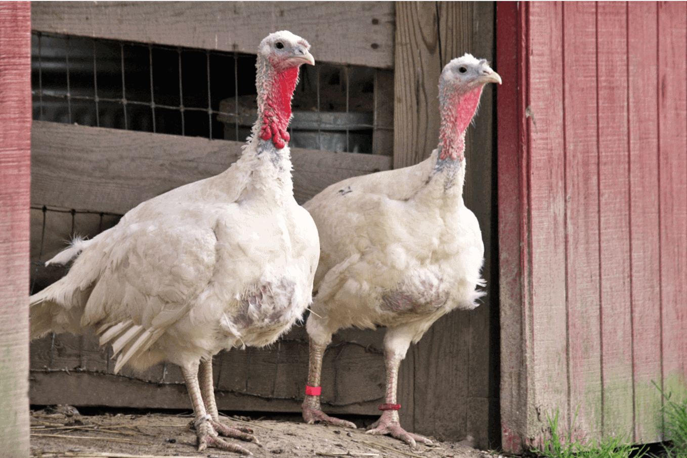 10 Things Everyone Should Know About Free-Range Turkeys post image
