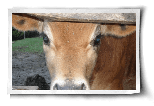 Post image for Bruno: A New Perspective on Happy Cows