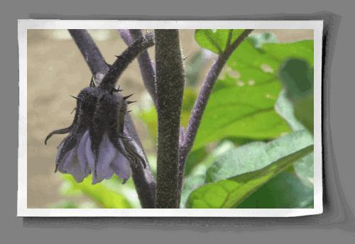 [Image: eggplant-flower.png]