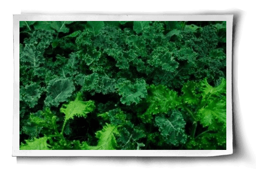 Post image for Kale: An Easy Beginner's Guide to Growing