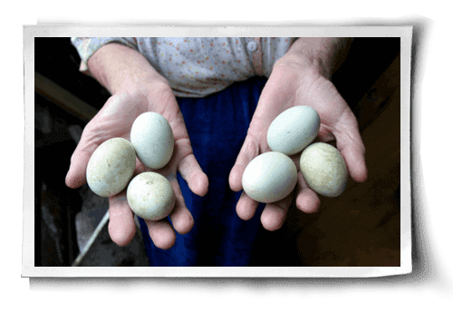 What's Wrong with Backyard Eggs?